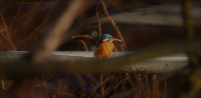 king-fisher-at-dusk