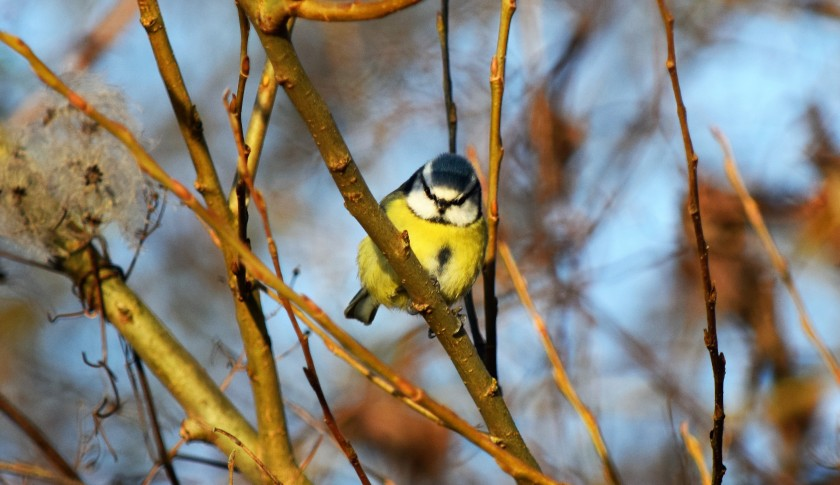 blue-tit-g-ferry-copy