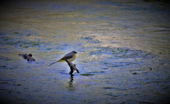 Grey Wagtail in the coming gloam