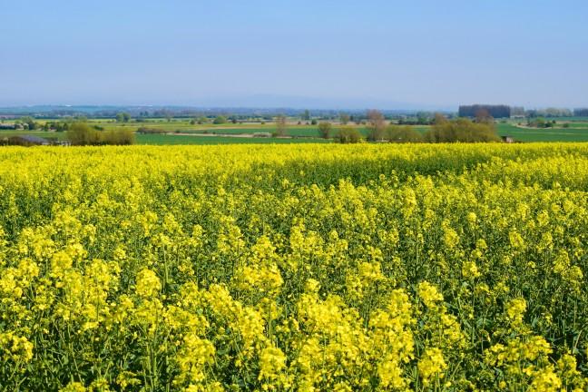 Kentish fields