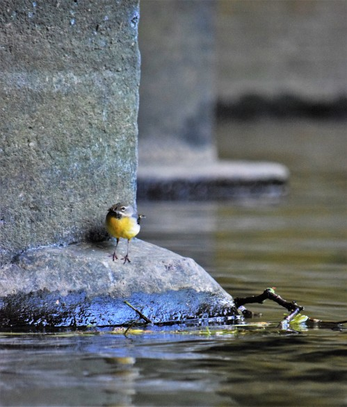Wagtail under the bridge 1.jpg