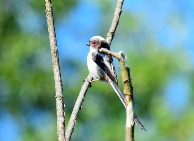 Long Tailed Tit at Bury Hill 3