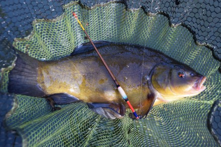 Tench in the net