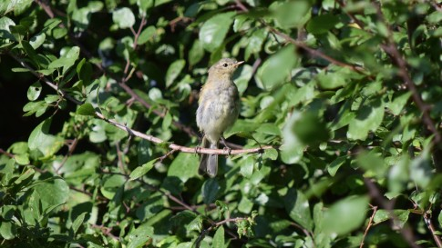Grove Ferry Chiffchaff singing