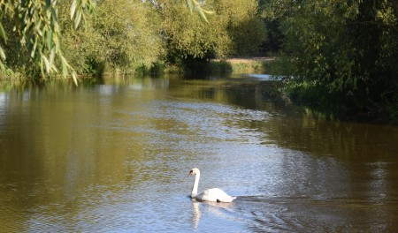 Swan at Grove Ferry