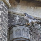 Once Were Peregrines- Part Two: The Millennial Falcons