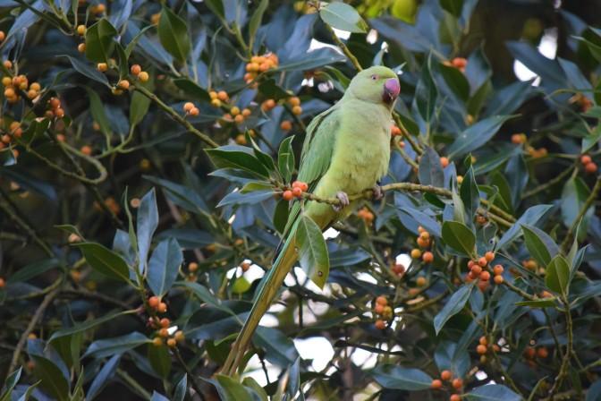 Ramsate Parakeet