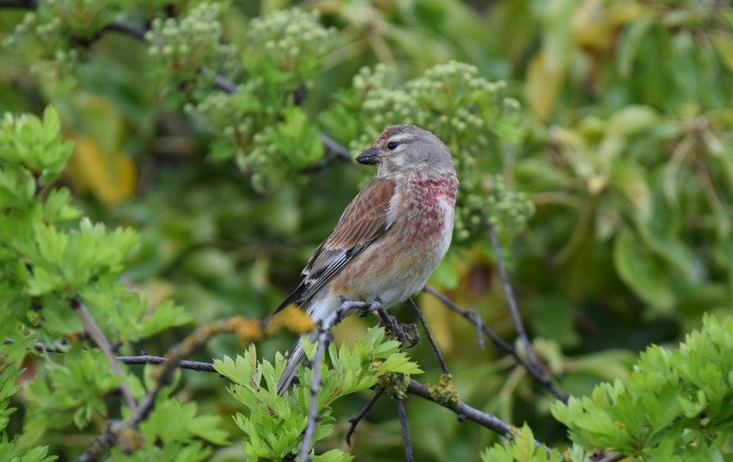 Cock Linnet of Pegwell