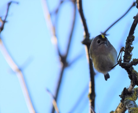 Goldcrest Front St Lawrence