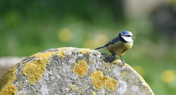 Blue Tit on a gravestone, St Laurence