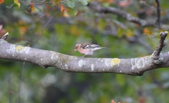 Chaffinch eating