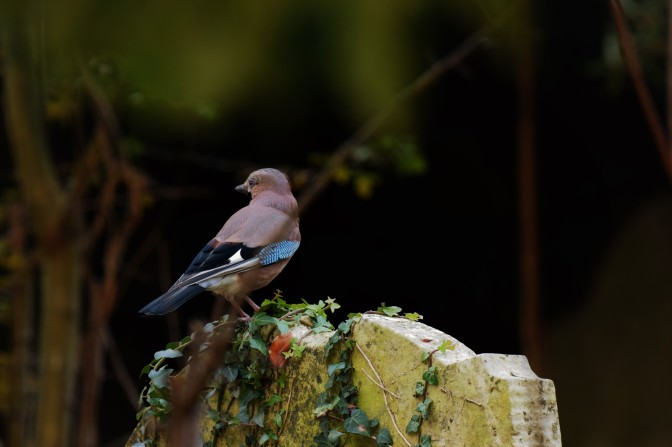 Jay on Grave, St Laurence November 2018