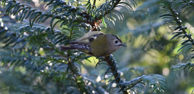 Kentish Goldcrest