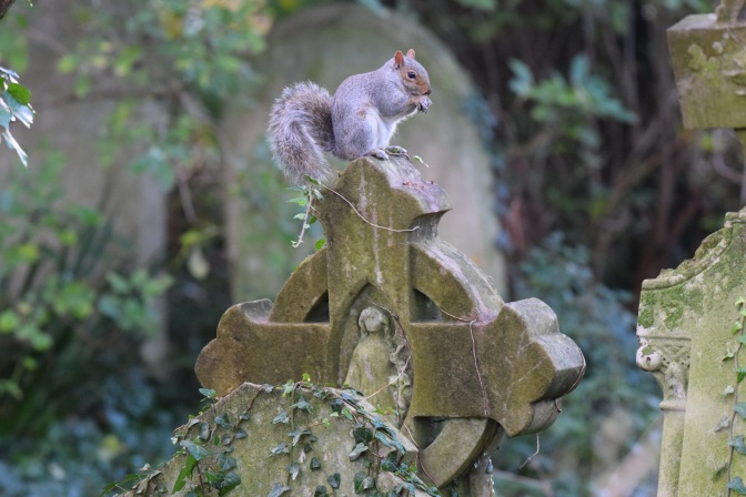 Squirrel St Laurence