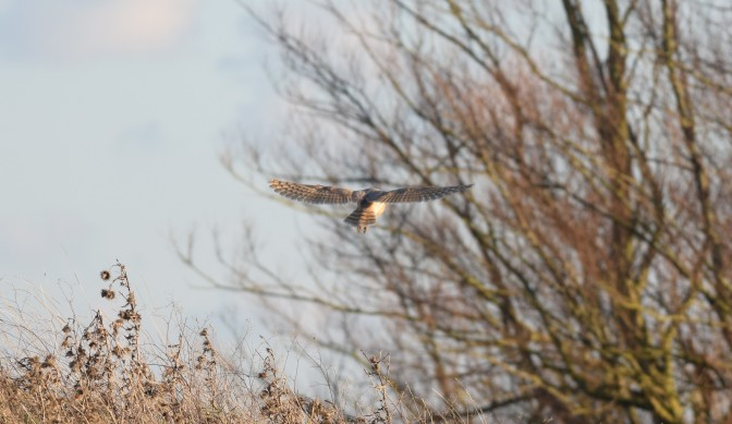 Barn Owl leaving