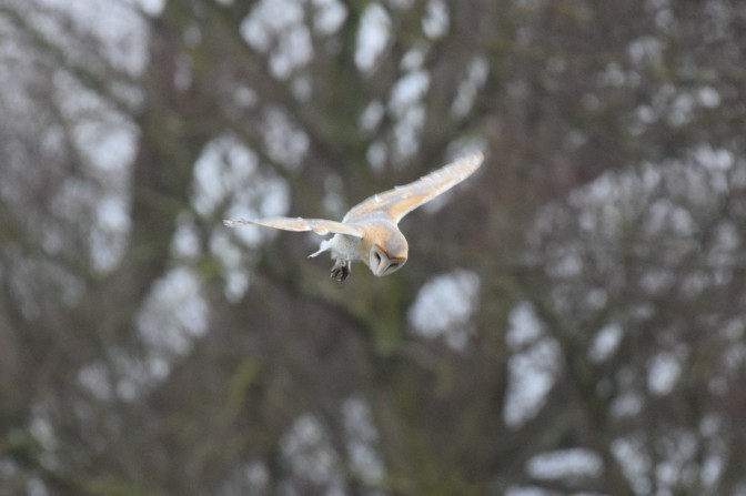 Barn owl hunting, northern marsh
