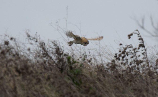 Barn owl o' the copse, north marsh