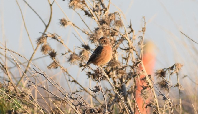 Female Stonechat, Marshes