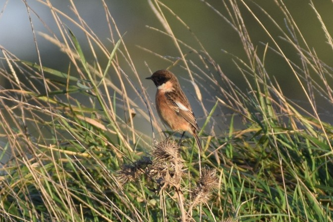 Male Stonechat, Marshes