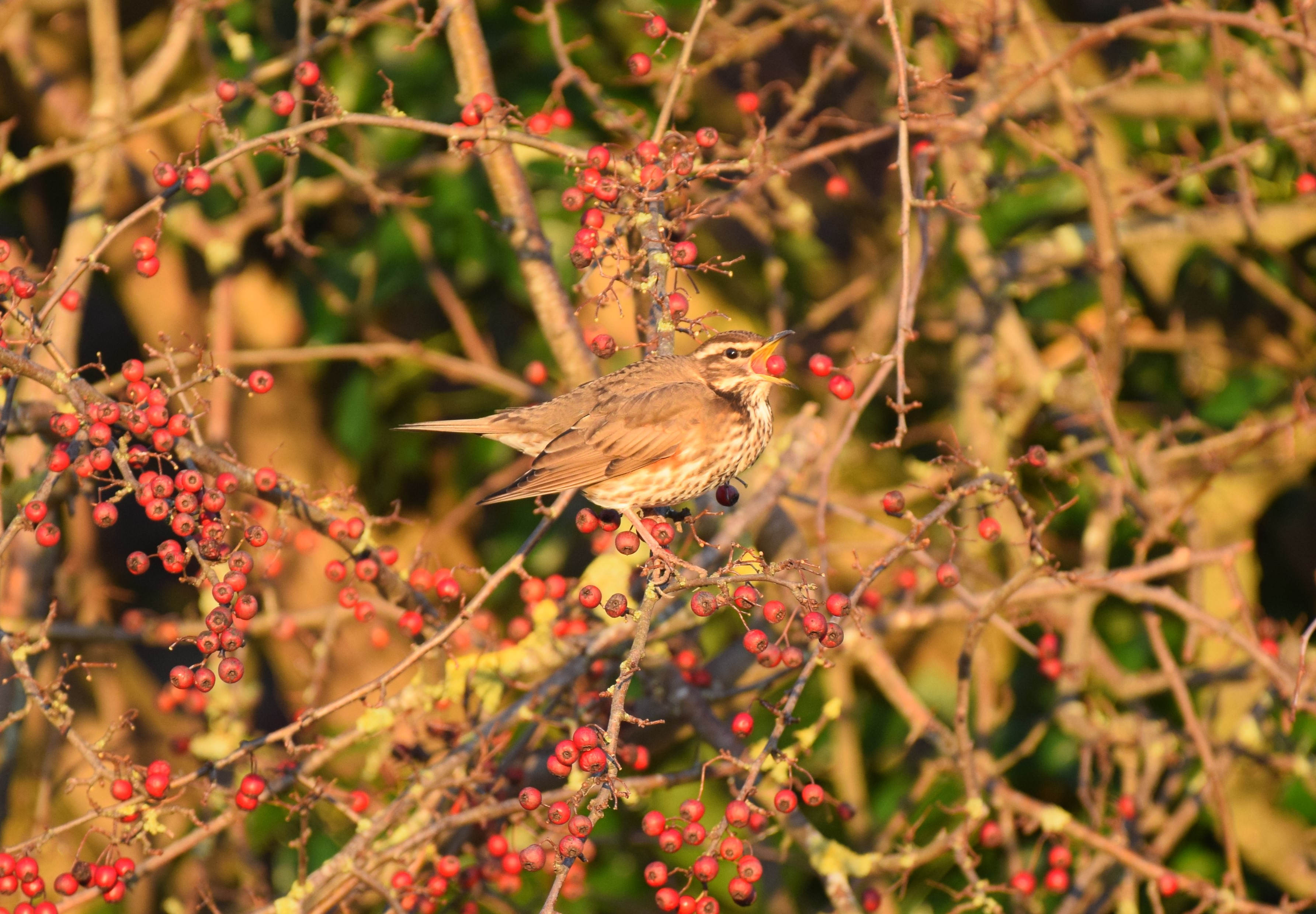Redwing eating berries, marshes