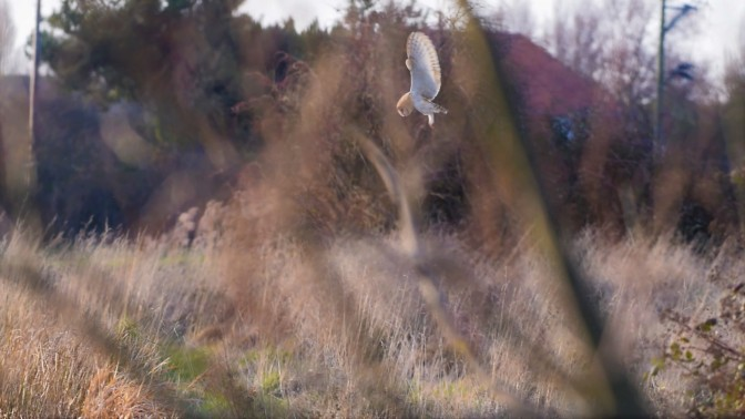 Barn Owl hovering near Vigo Sprong, Sandwich