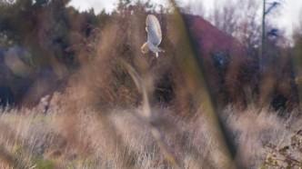 Barn Owl hovering near Vigo Sprong