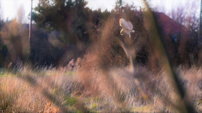 Barn Owl, North Marsh, near Vigo Sprong