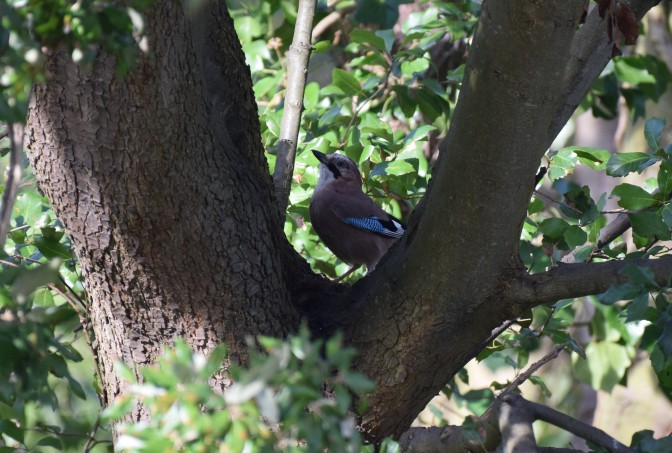 Jay between the leaves