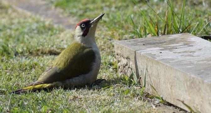 Woodpecker Ramsgate Yard