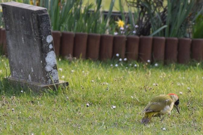 Woody feeding near grave