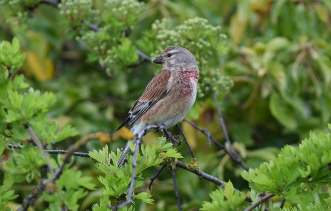 Linnet of Pegwell, Spring 2018